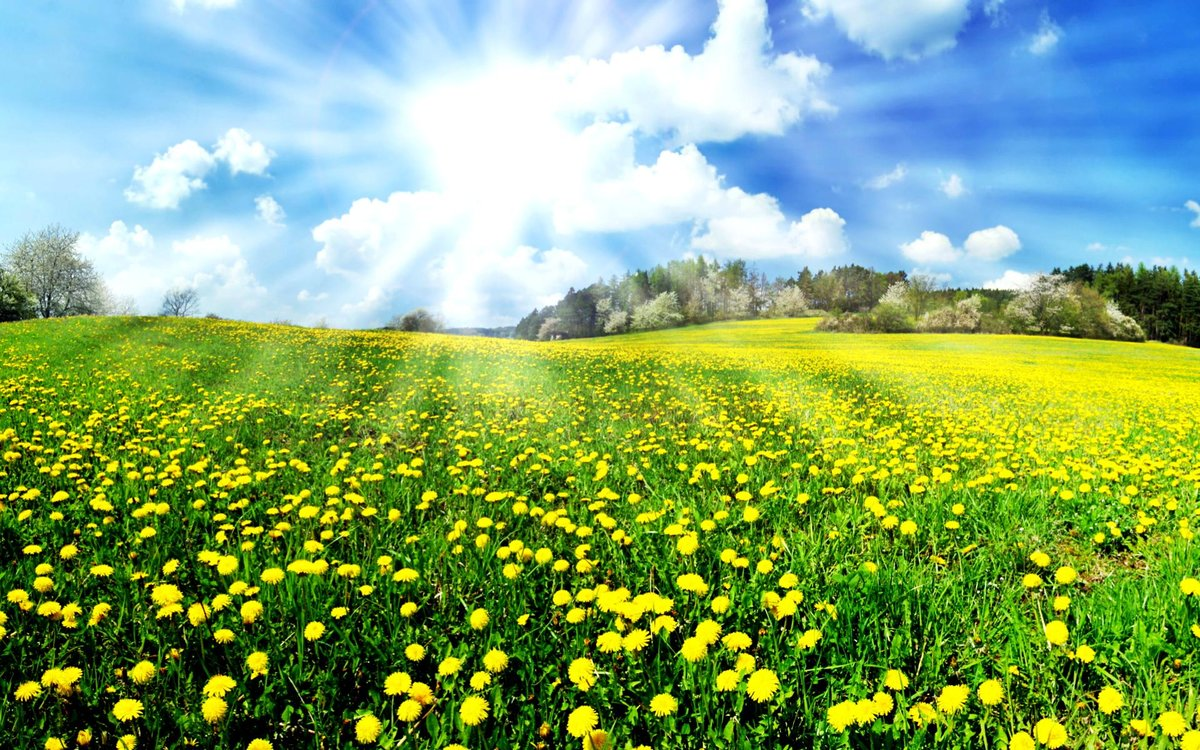 картинки весна поле одуванчиков после