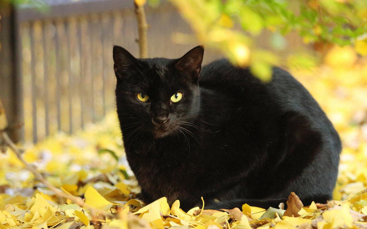 главное картинка чорного кота был создан основе
