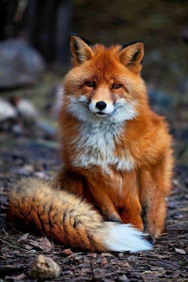 Фото лисы качественное #6