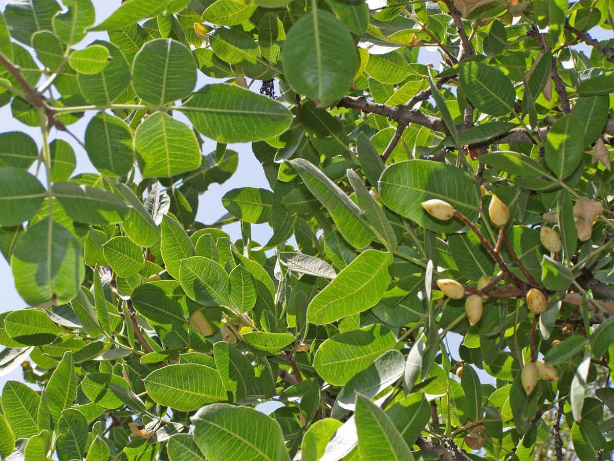 Редкие деревья мира фото и список срок службы