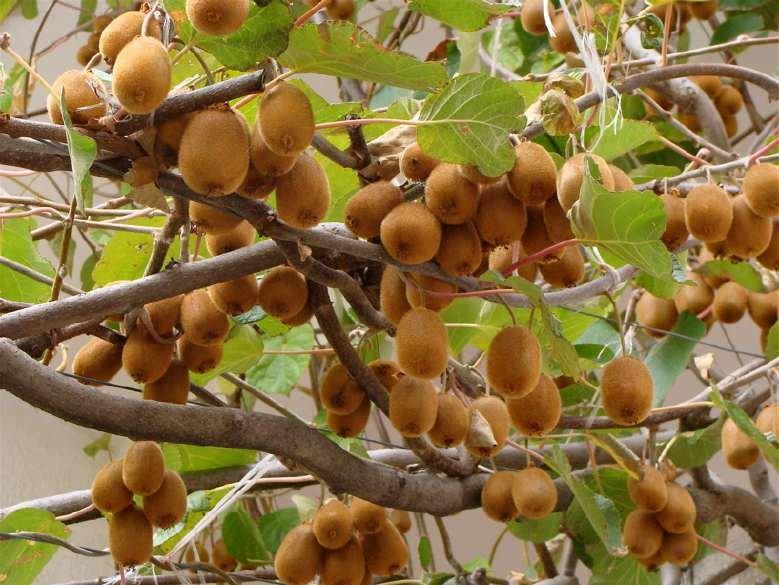 Джига фрукт