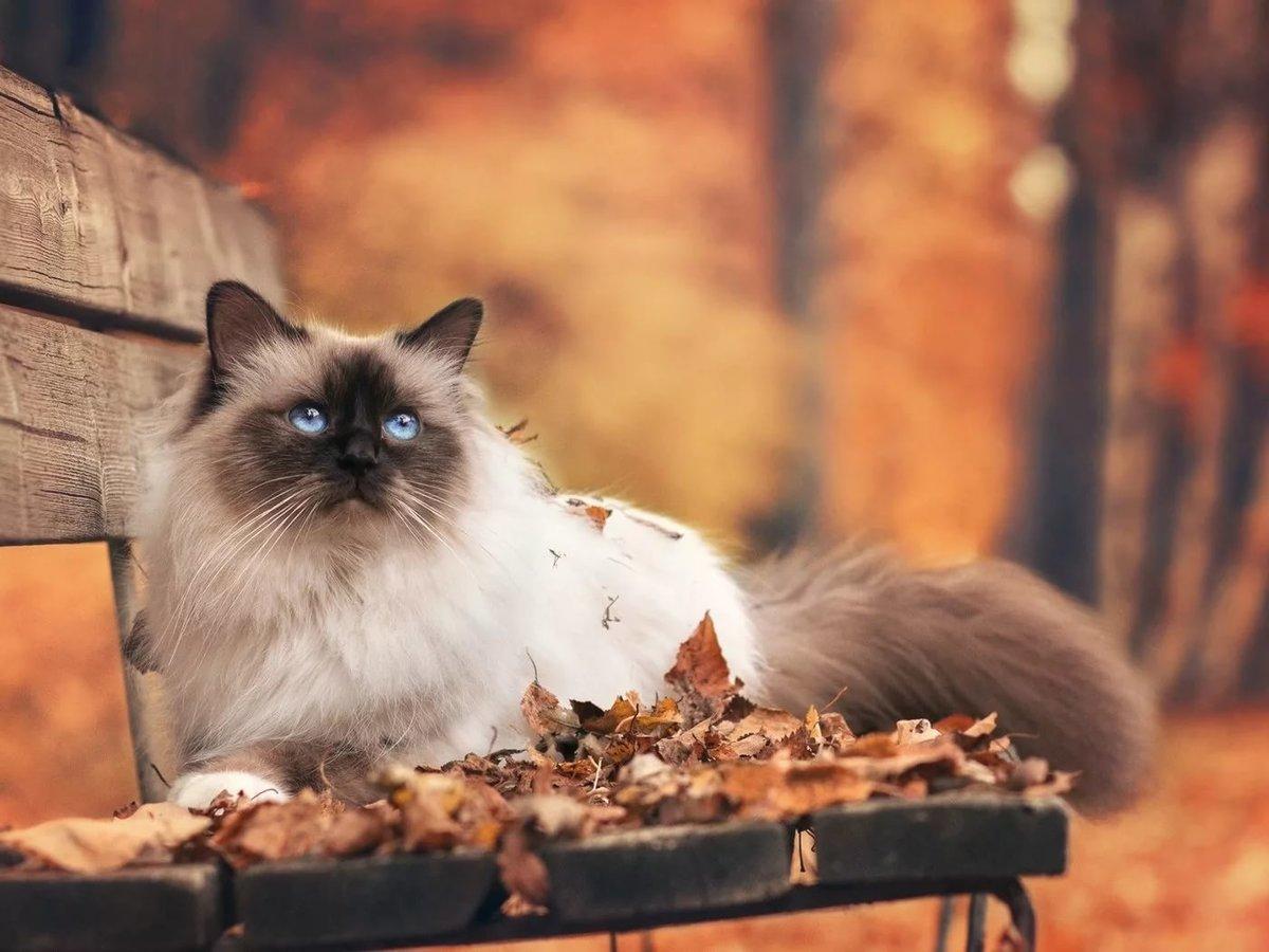 Жёлто-красная листва, скамейка и голубоглазая кошка
