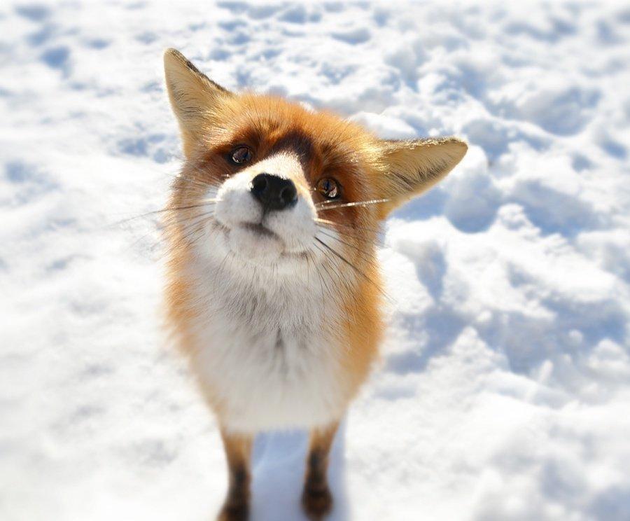 Кинзерская, классные картинки лисичек