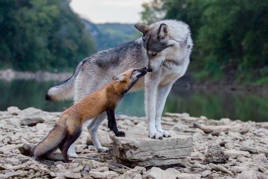 смешная лиса и волк картинки выпускает ростки