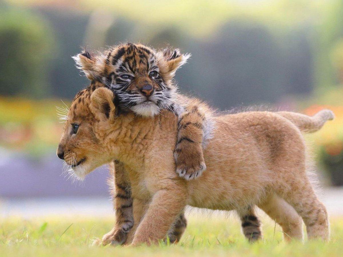 Картинки с тигрятами и львятами