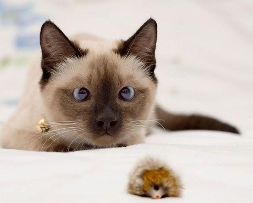 Картинки поздравления, прикольные сиамские коты картинки