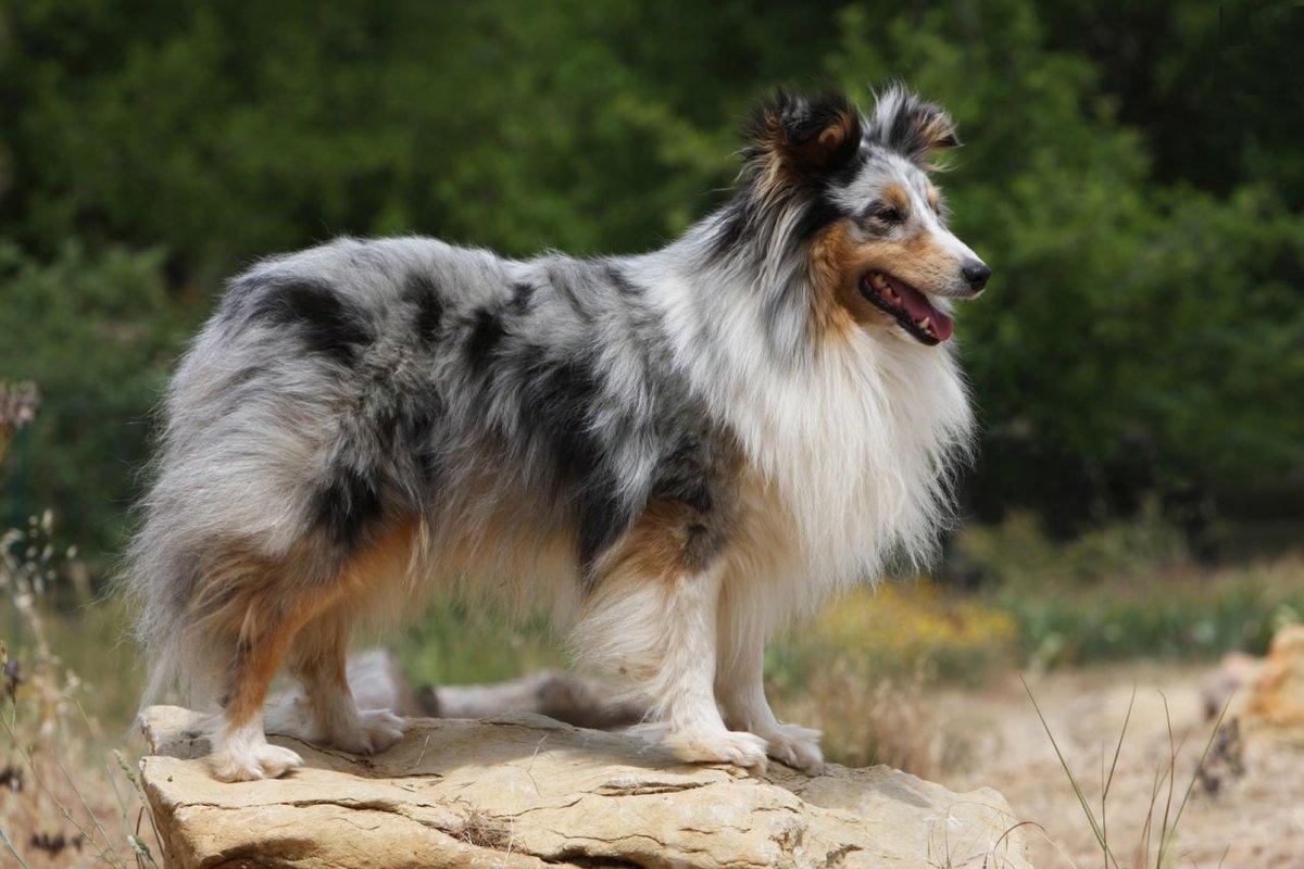 Картинки пород пастушьих собак