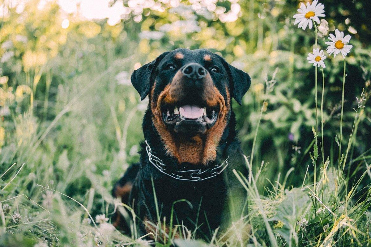 Historia A pesar de ser una raza versátil que se utiliza en los últimos tiempos para muchos propósitos el rottweiler es conocido principalmente como una de las