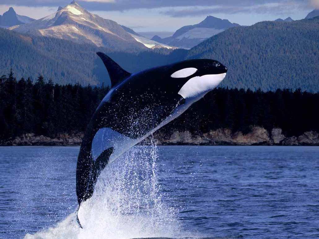 Полгода знакомства, картинки китов убийц