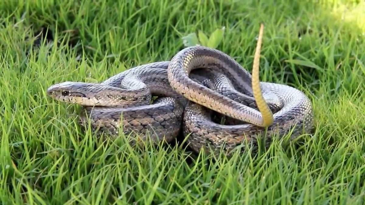Картинки полоза змеи