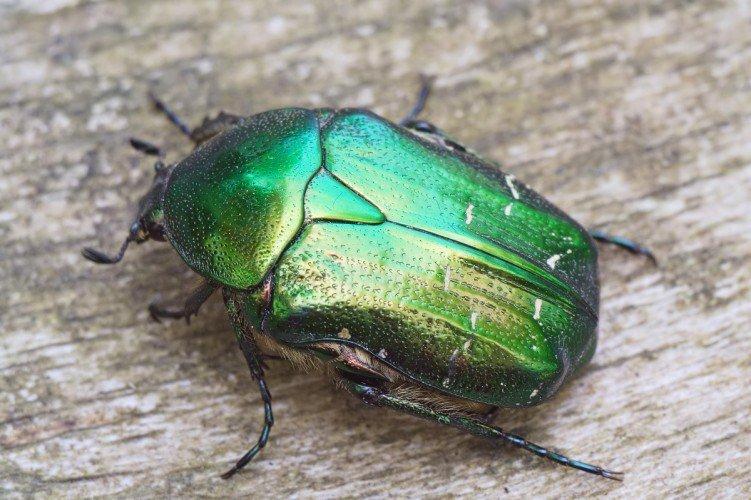 бронзовка фото жук