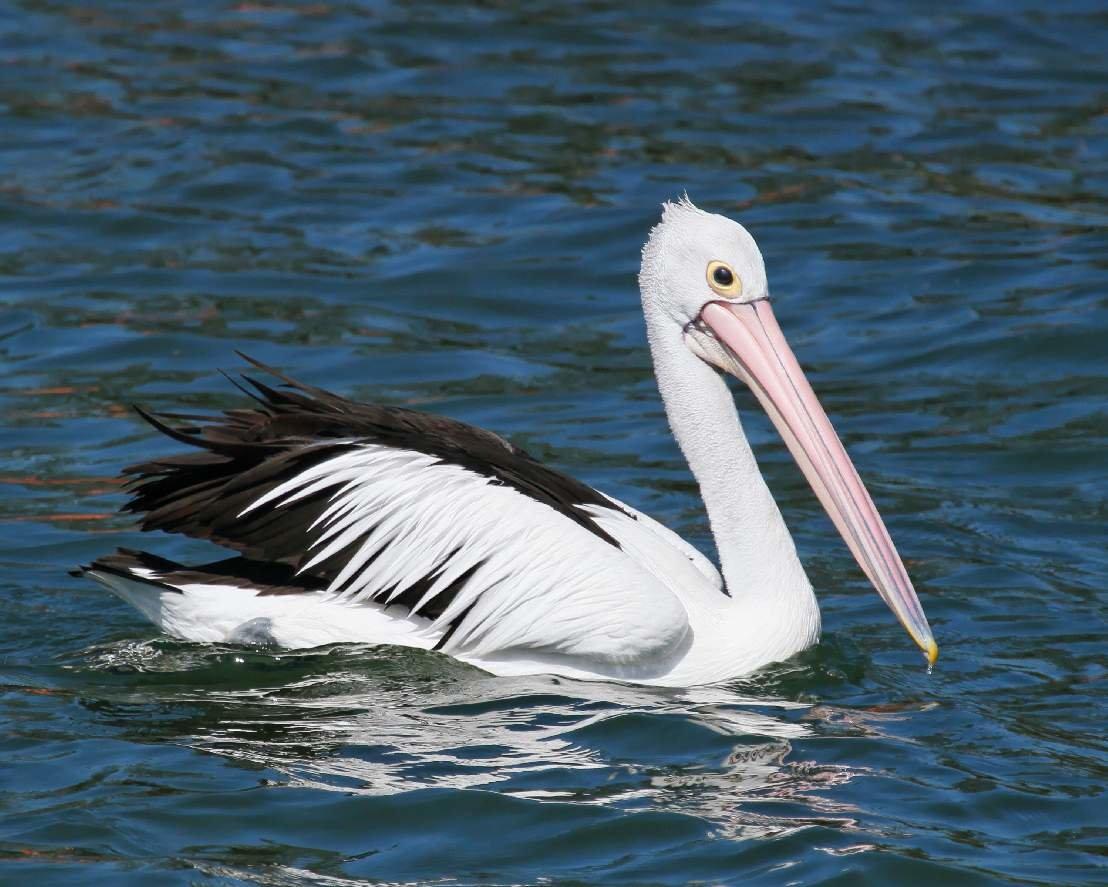 пеликан большие картинки общайтесь назначайте свидания