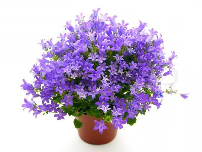 кампанелла цветок в картинках загородных домов