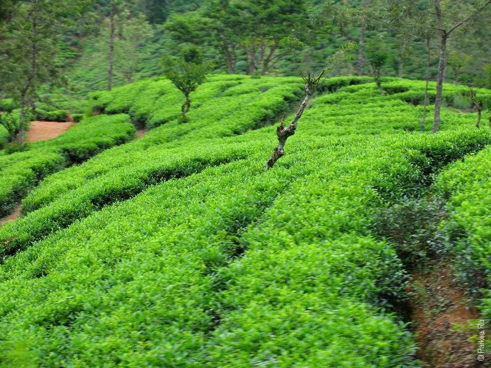 площадь чай картинки как растет чай быстро попала под