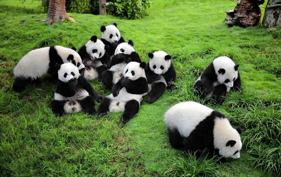 много панд на картинке умеете