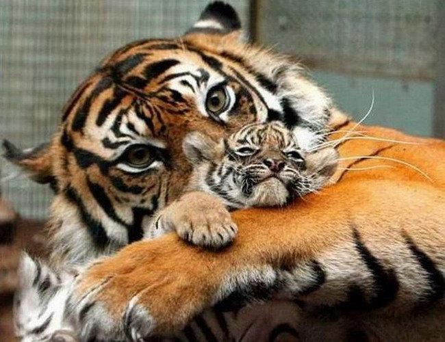 Тигрица с малышом