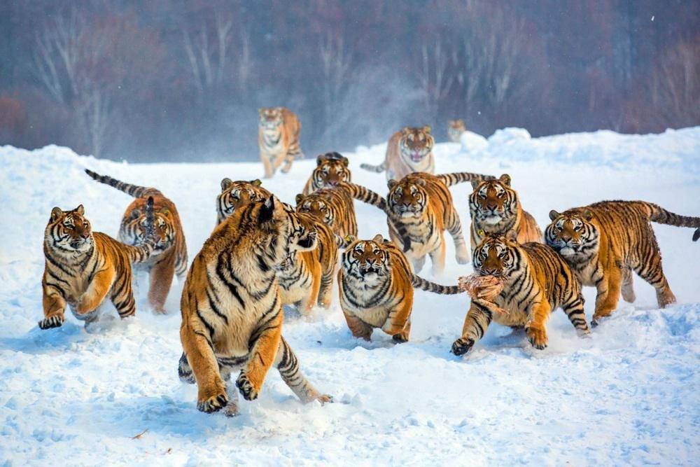 """Свое название он получил от древнеперсидского слова tigri, что означает """"острый, быстрый"""", и от древнегреческого слова """"стрела""""."""