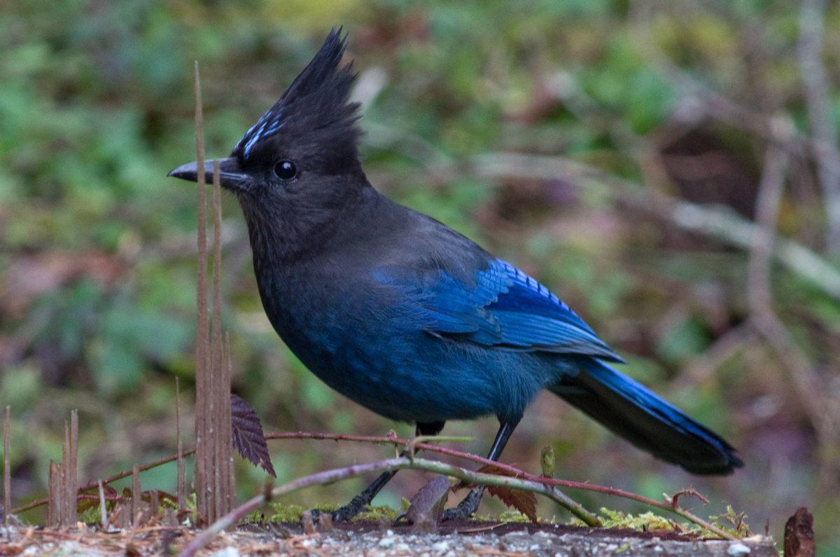 Показать фото птицы сойки
