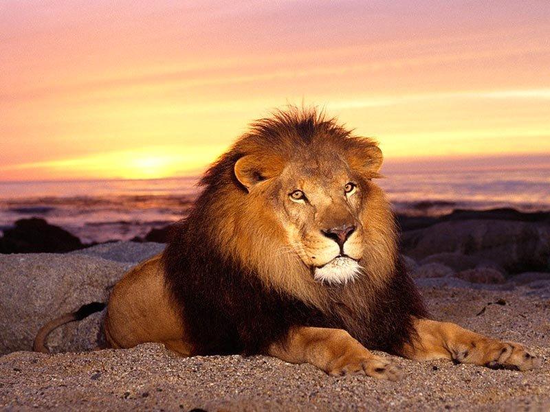 Лежащий лев, освещаемый закатом.