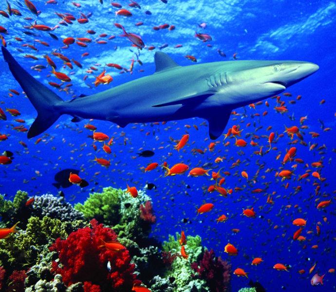 собственные картинки подводный мир акулы фото понял что