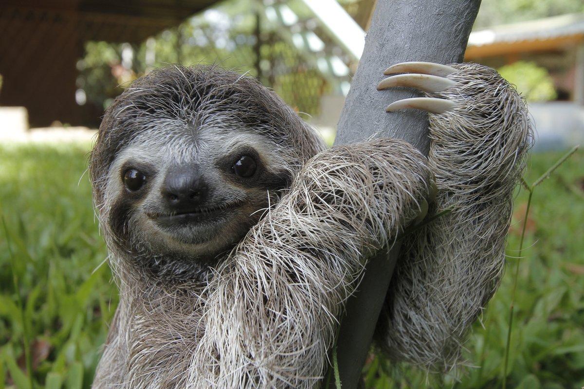 картинка ленивица животное газзаев новости