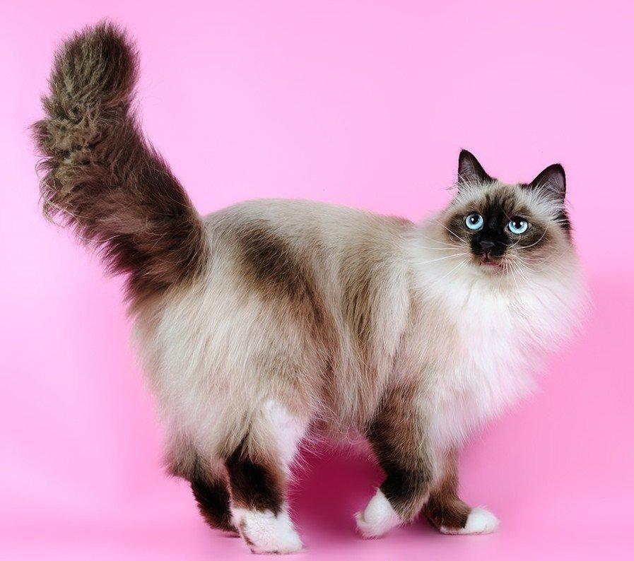 порода кошек сибирская маскарадная фото инструмент
