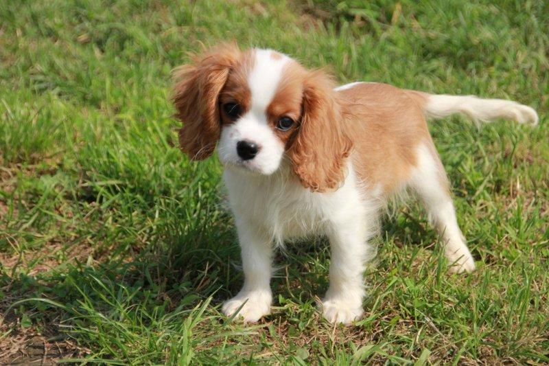 спаниель фото щенок