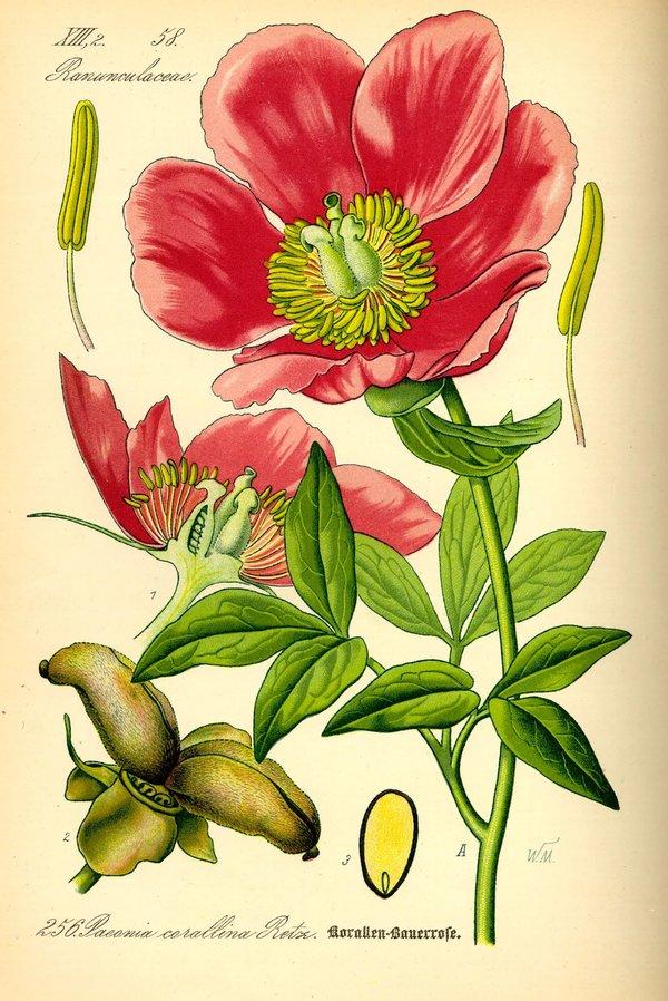 данной ботанические рисунки растений открытки дни рождения