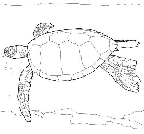 «Раскраска водная черепаха - Раскраска Черепаха Скачать И ...