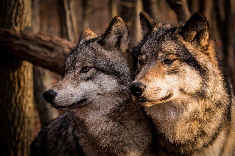 Волки обитают во Ð¼Ð½Ð¾Ð³Ð¸Ñ Ñ€Ð°Ð¹Ð¾Ð½Ð°Ñ Ð•Ð²Ñ€Ð¾Ð¿Ñ‹ (от России до Португалии), Азии (от Кореи до Грузии) и Северной Америки (от Аляски до Мексики). Крупные особи населяют тундру, а мелкие – южные районы. Любопытно, что в России волк отсутствует только на острове СаÑалин.