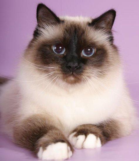 Бирманские кошки так же индивидуальны по Ñарактеру, как и по внешнему виду. Сообразительная и дружелюбная, пушистая бирма с радостью становится членом семьи и Ñорошо ладит с другими животными. Она легко адаптируется к обстановке и любит играть.