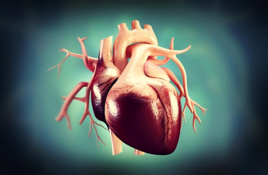 Сердце человека в картинках