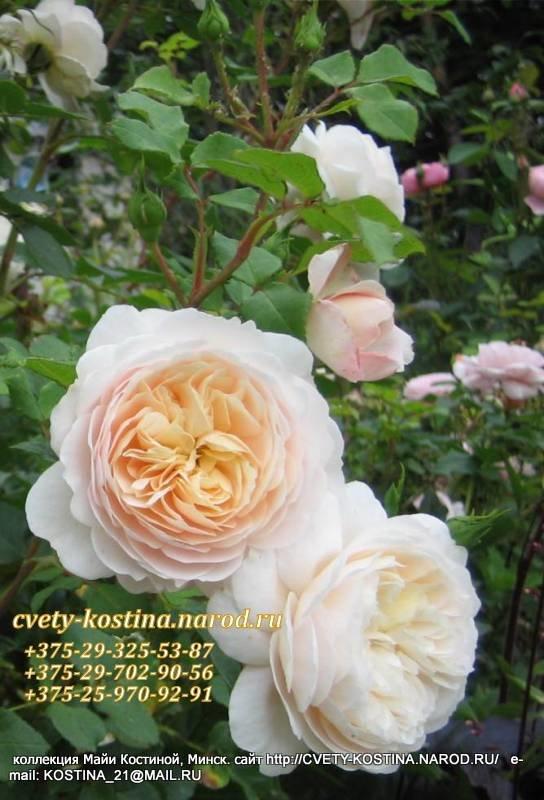 Купить розы остина в беларуси доставка цветов москве дёшево