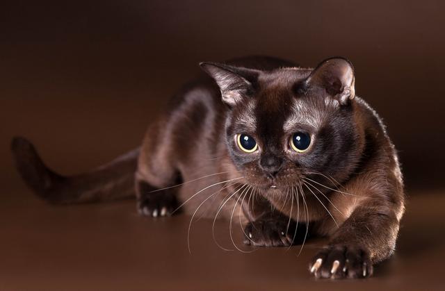 Бурманская соболиная кошка