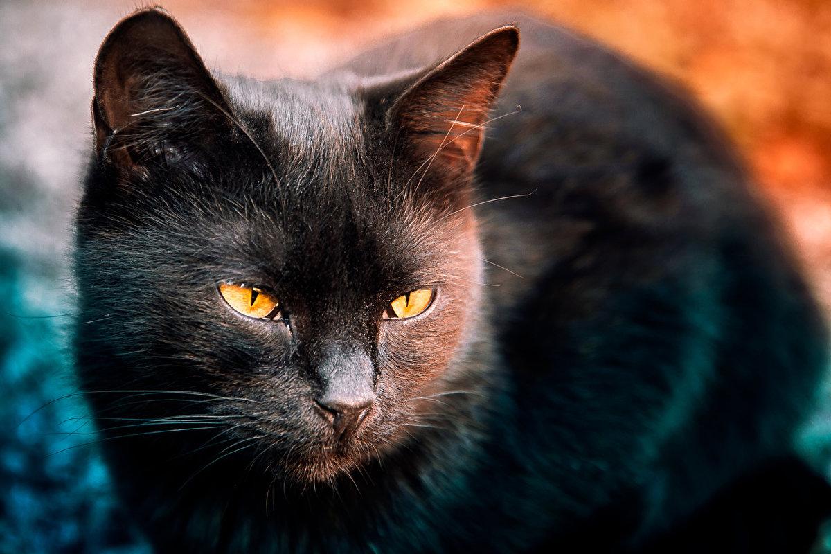 Красивая черная кошка картинки