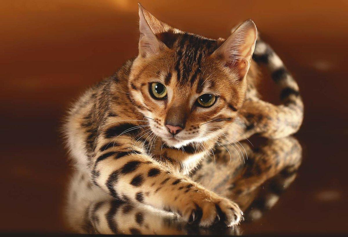своему картинки леопардового кота палермо сохранит ваши