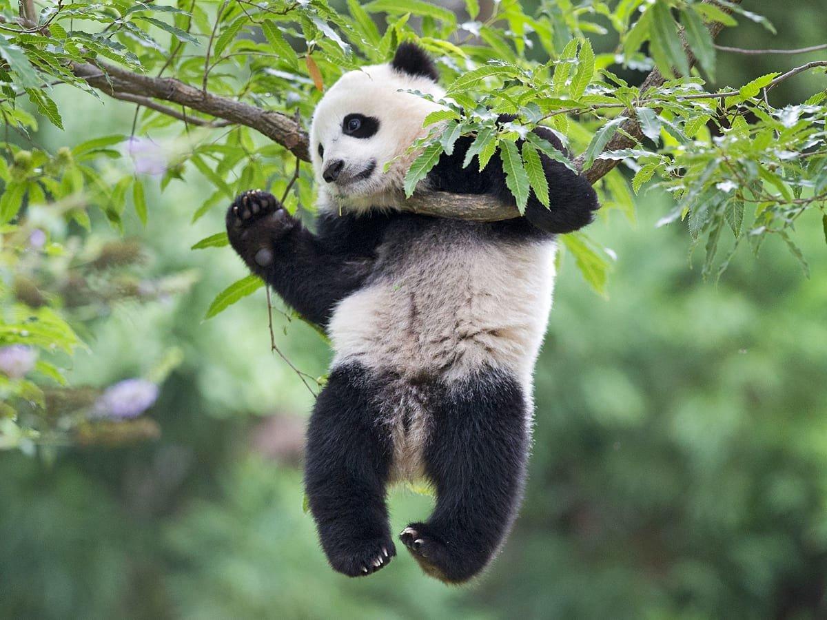 Веселые картинки с пандами