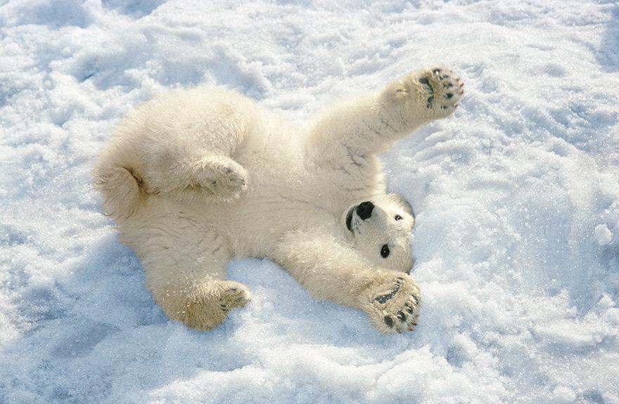 смешная картинка белого медведя приступим