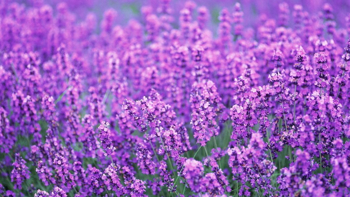 lavender background color - HD1280×800