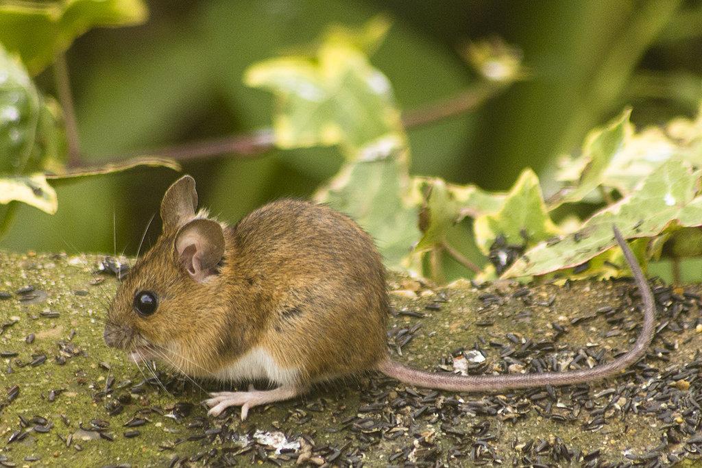 Картинка мышки животное