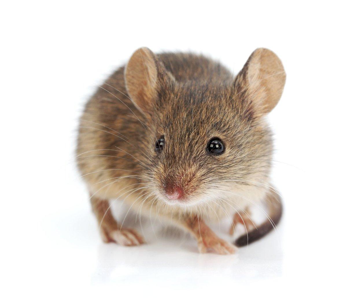 Марта, картинка мышей для детей на белом фоне