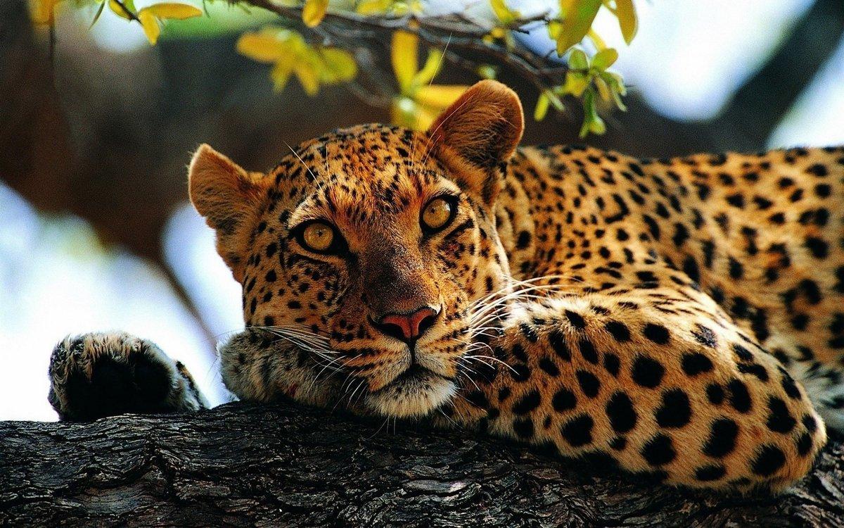посмел фото высокого качества очень красивые ягуары лежит