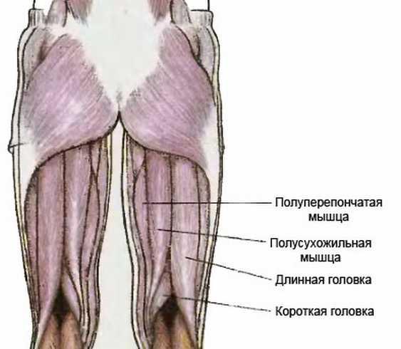 "мышцы задней поверхности бедра функции"" — card from user ..."