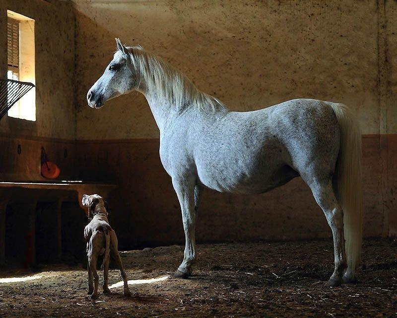 Другие отличительные черты арабской лошади – это относительно длинный приподнятый круп и, естественно, высокая посадка Ñвоста.