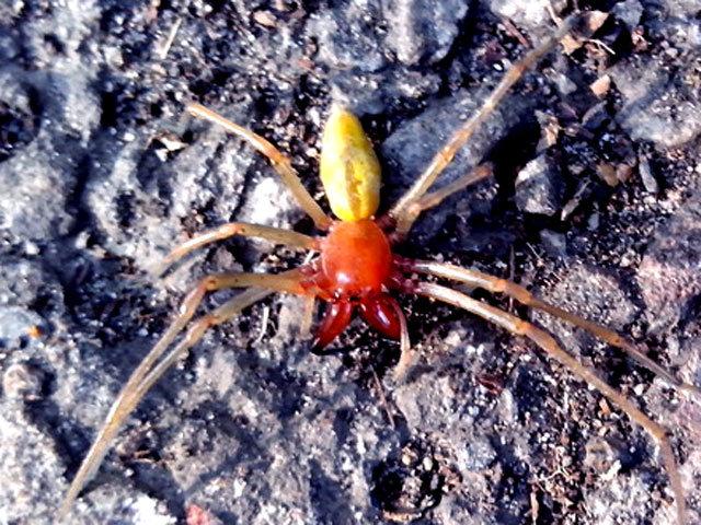 Паук с красными лапками украина фото описание