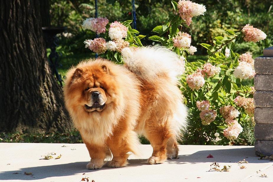 Картинки собаки чау-чау большие