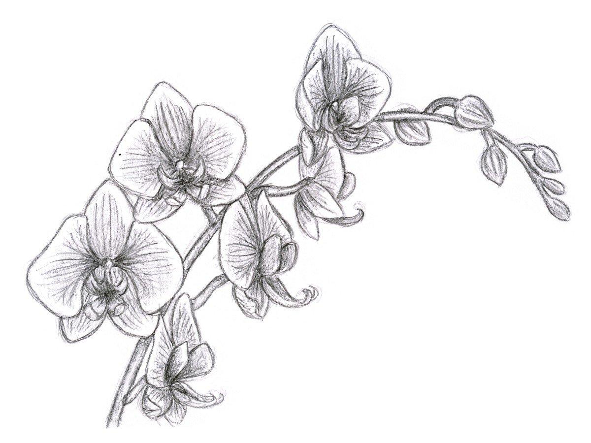 Картинки цветы на белом фоне нарисованные карандашом, живые