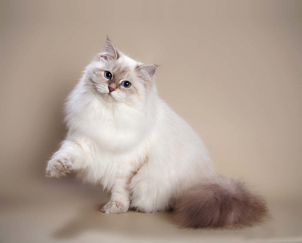 кошки породы невская маскарадная — это исконно русские сибирские кошки, обладающие крепким здоровьем, большой продолжительностью жизни и устойчивой психикой, только при всех этих плюсах еще и необычного — сиамского окраса