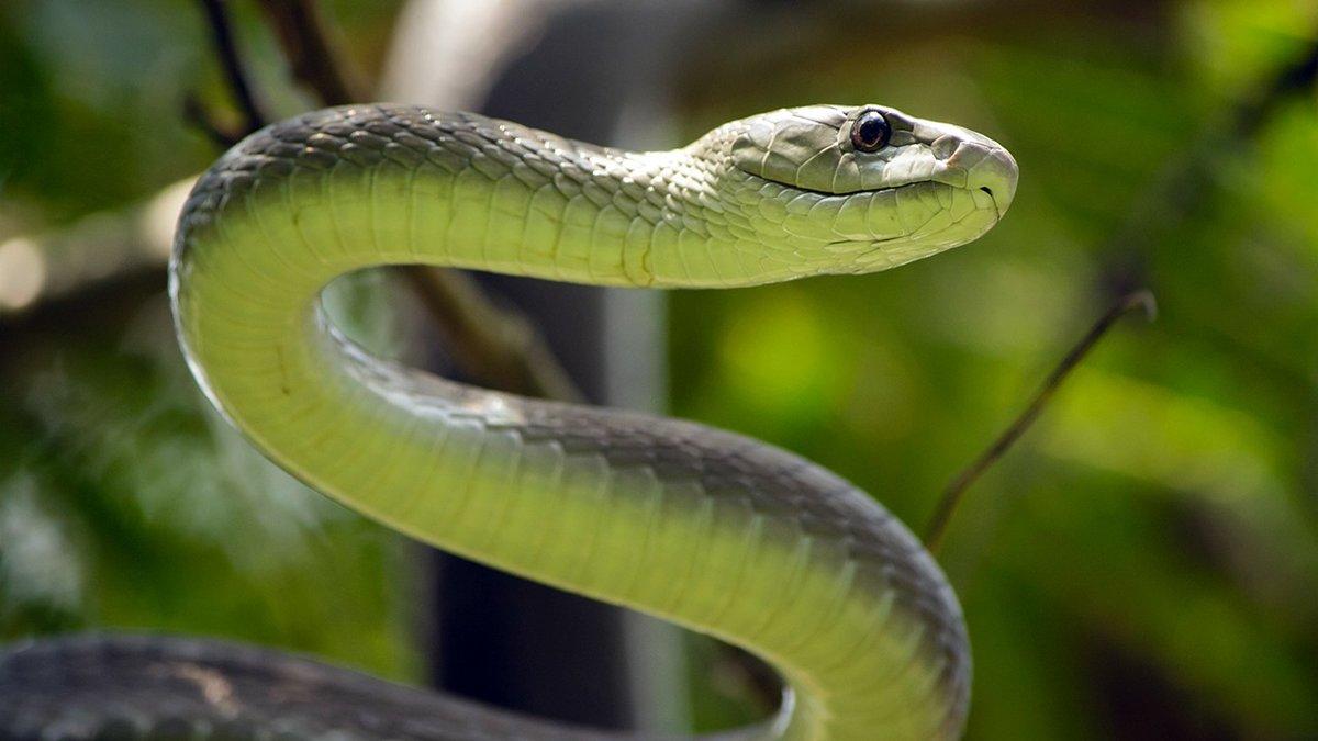 mamba bite snake black the
