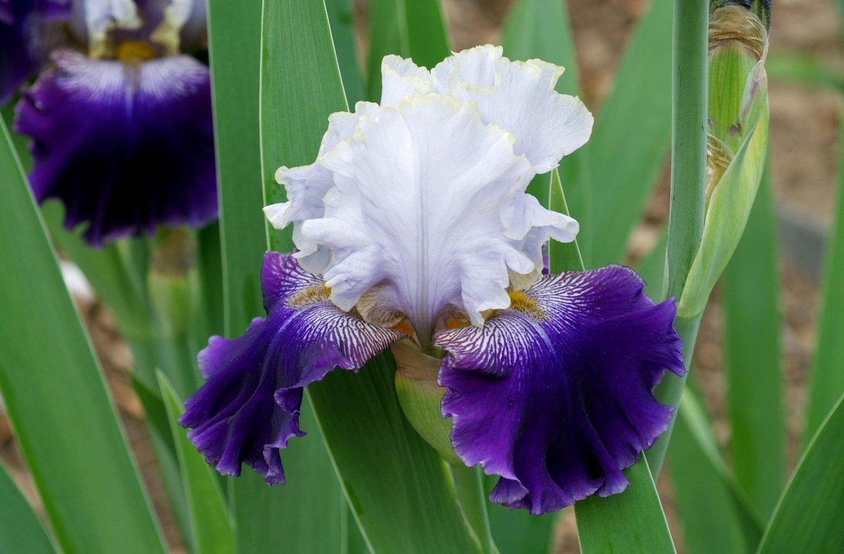 Февраля. для, где можно в магнитогорске купить ирисы цветы